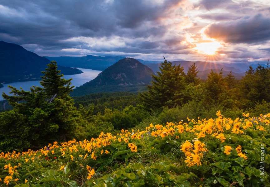 Balsamroot bloom far above the Columbia River on Dog Mountain in the Pacific Northwest's Columbia River Gorge Scenic Area.