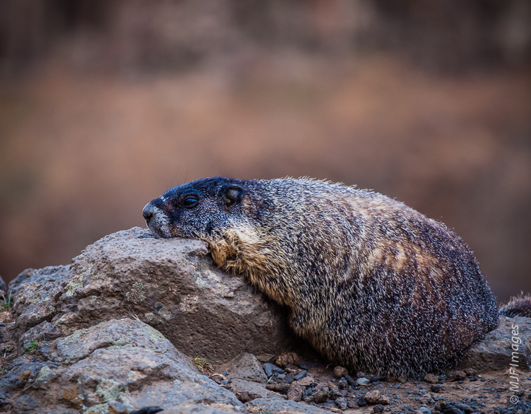 A marmot at Palouse Falls in Washington rests after a strenuous session of looking cute for handouts.