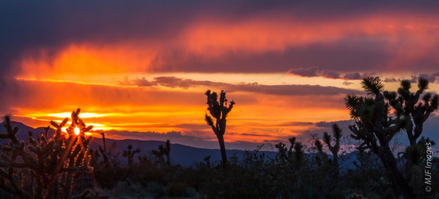 The cholla and joshua trees are highlighted as the sun sets over the Mojave Desert.