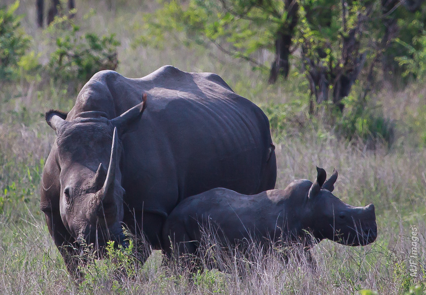 A white rhino mom is not about to let the stranger with the camera get anywhere near her baby.