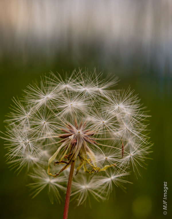 The feathery seed heads we used to blow with a wish as children, in a grassy meadow near Mt Hood, Oregon.