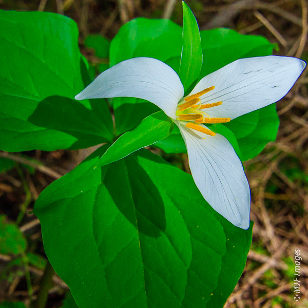 The signature flower of springtime in forests throughout the Pacific Northwest of North America: the trillium.