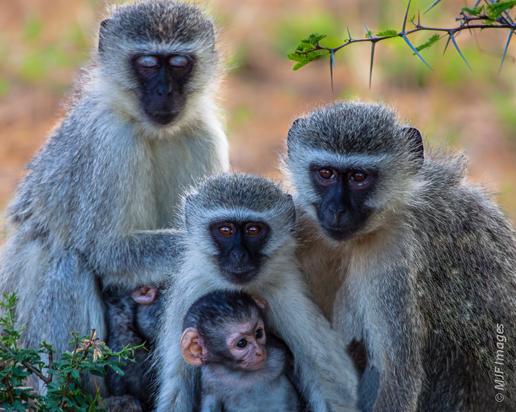 A family of vervet monkeys stick together in Kruger National Park, South Africa.