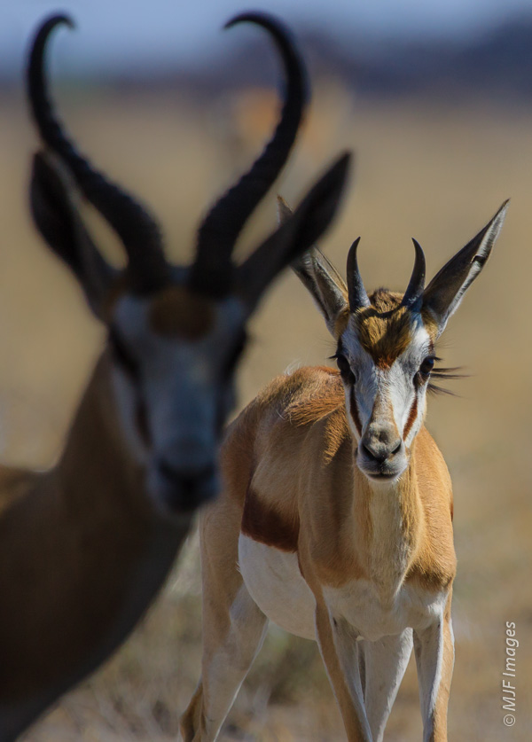 For this shot of springbok in Namibia, I broke a rule saying that your in-focus subject should be in front.  Placing the male in shadow helped to focus attention on the well-lighted female in back.