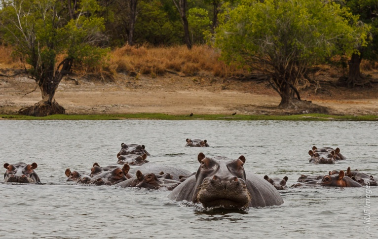 This big male hippo in Zambia put himself closer to my position in the boat, thus giving me the chance to quickly grab the shot and isolate him against his pod of females.