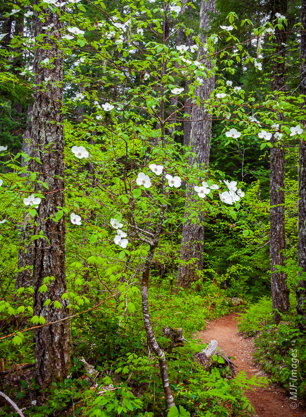 Dogwood Blooms along the trail in western Washington's Gifford Pinchot National Forest.