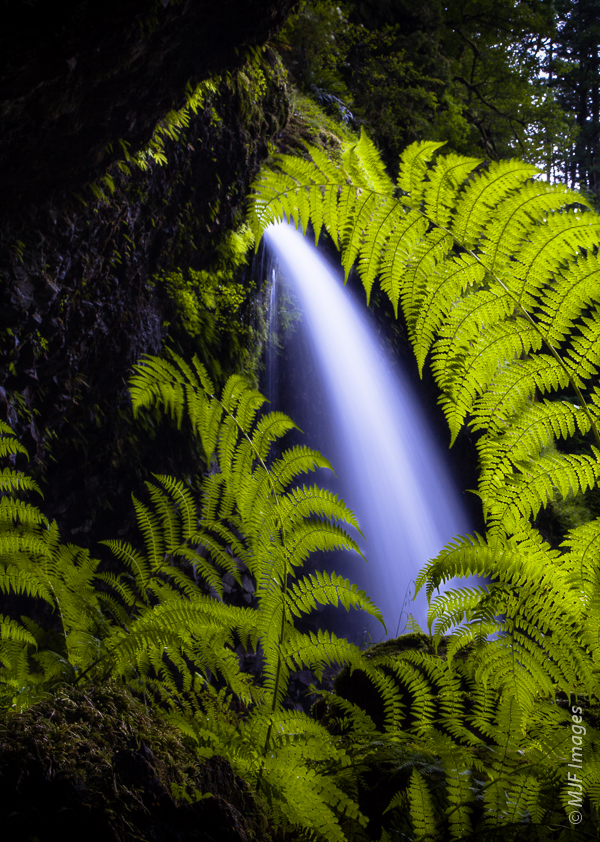 Ferns and a waterfall thrive in a dim grotto deep in the Columbia River Gorge of Oregon.