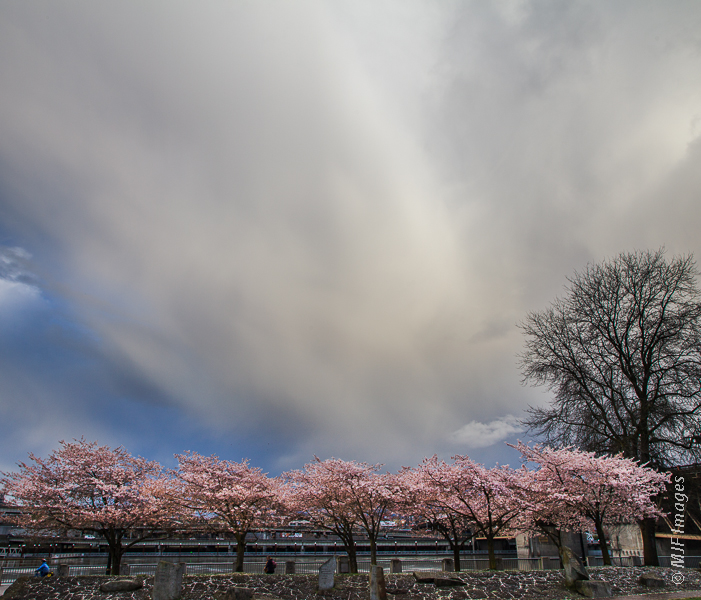 The cherry blossoms and unsettled weather go along with Spring in Portland, Oregon.