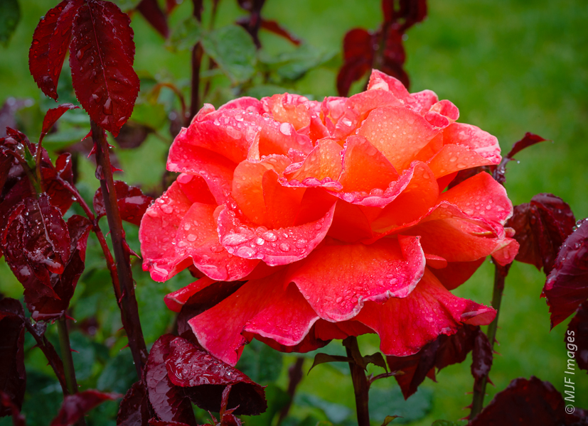 One Soggy Rose.