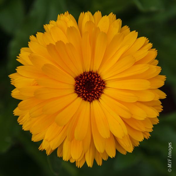 A perfectly symmetrical daisy blooms in Portland, Oregon.