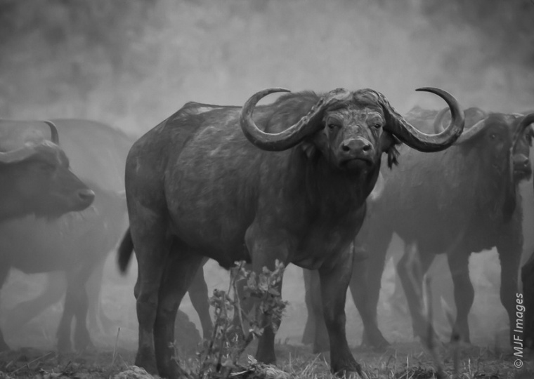 Proof that it's better to be lucky than good: Too cheap to hire a guide, just before sunset I ran into this herd of cape buffalo in Zambia.
