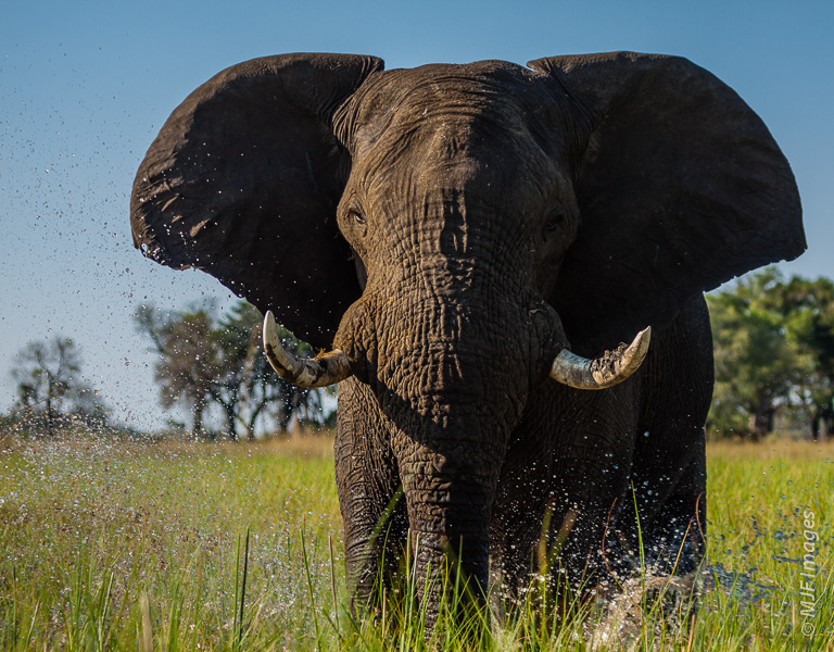 You can see the water spraying up as this young bull in the Okavango Delta begins his charge - a false one lucky for us.