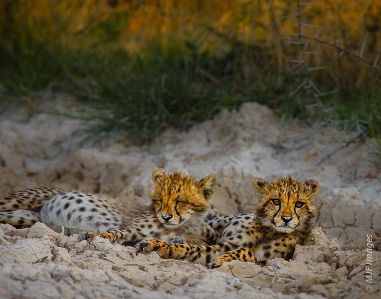 In Etosha, Namibia, my patience paid off.  After 2+ months in Africa, I had not seen a cheetah.  Then I happened on a mother and these two cuties.
