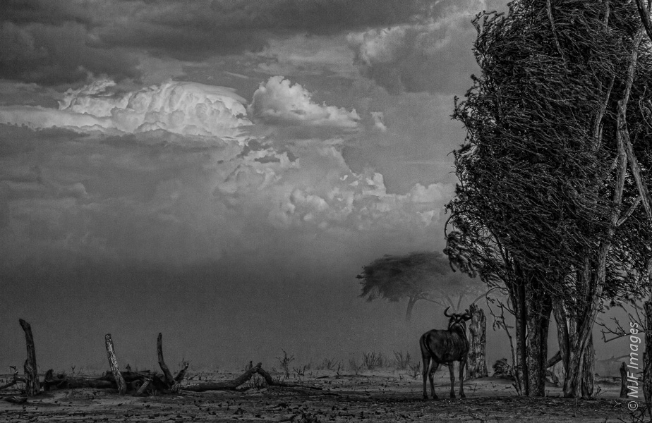 A lone wildebeast stands against an oncoming storm in the Mbabe Depression of Botswana.  You can see the wind in the tree  he's standing under.