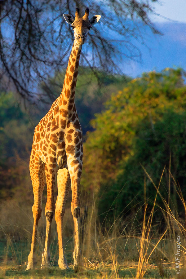 Upon waking very early on only my 3rd morning in Africa, I stepped outside to see this stately female Thornicroft's giraffe in Zambia's South Luangwa National Park.