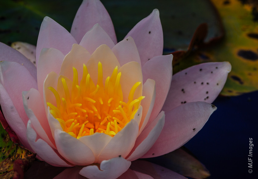 A pond just inland from the coast has abundant water lilies.  Or are these lotus flowers?