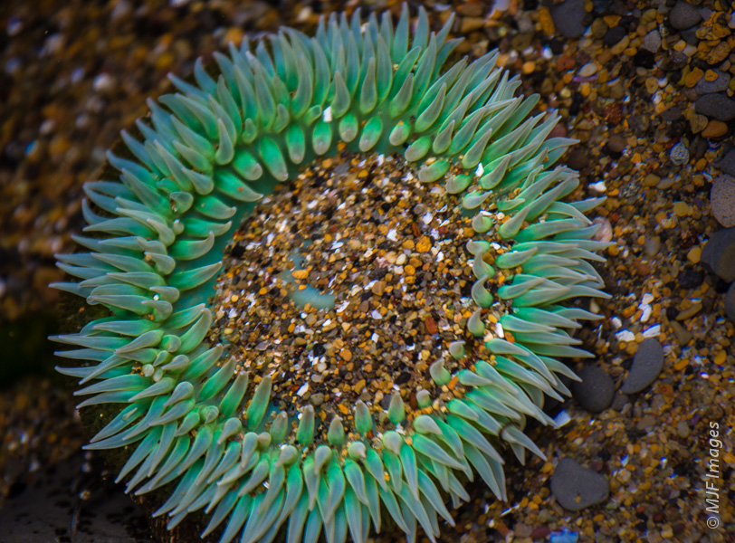 I see you sea anemone!