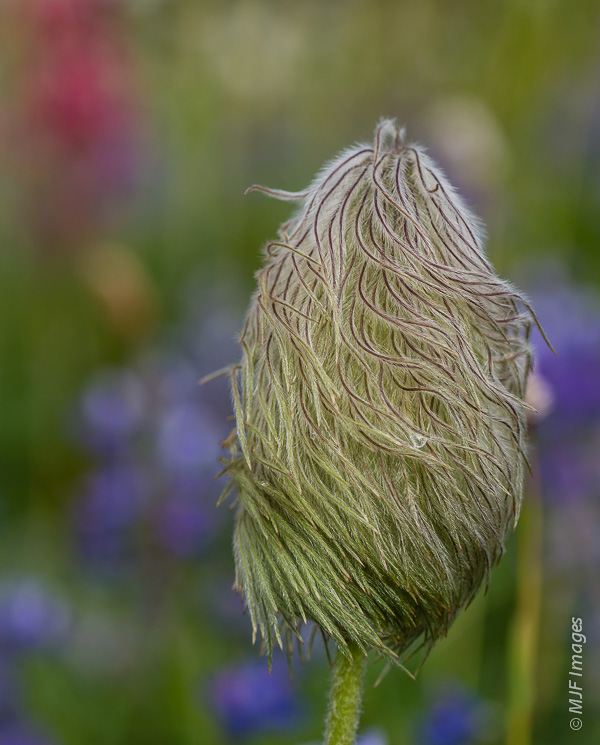 Pasqueflower is a hairy beast!