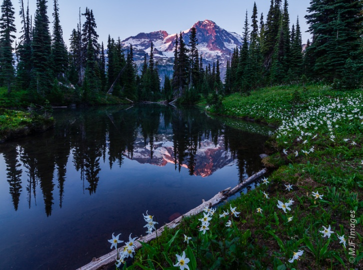 Mount Rainier is reflected in a subalpine pond lined with avalanche lilies.
