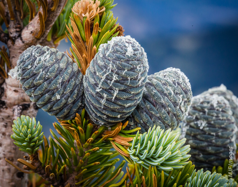 Cones protect the seeds of a subalpine fir from harsh conditions on a high ridge-line at Olympic National Park.