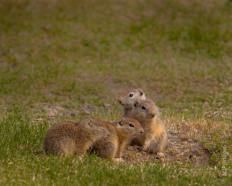 Throwing your background out of focus, as here with Belding's ground squirrels in eastern Oregon, will help create negative space.