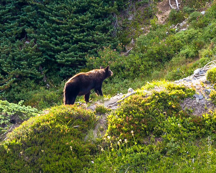 Bears are not that uncommon at Mount Rainier.