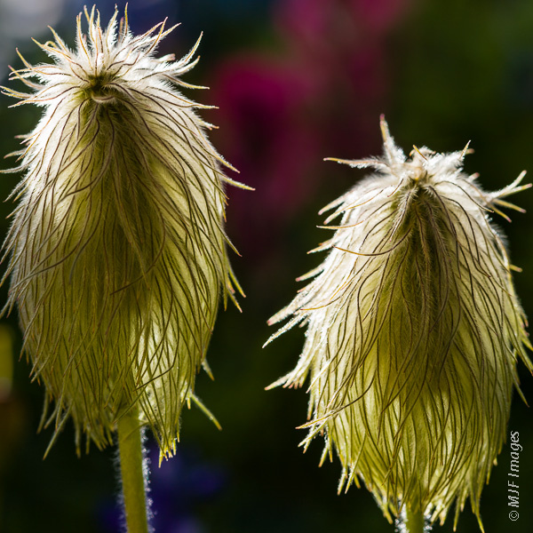 The hairy pasqueflower blooms in contrast with indian paintbrush.