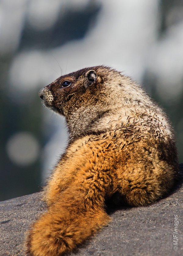 This furry critter is a hoary marmot and is a common sight (and sound) in the alpine meadows of Mount Rainier.