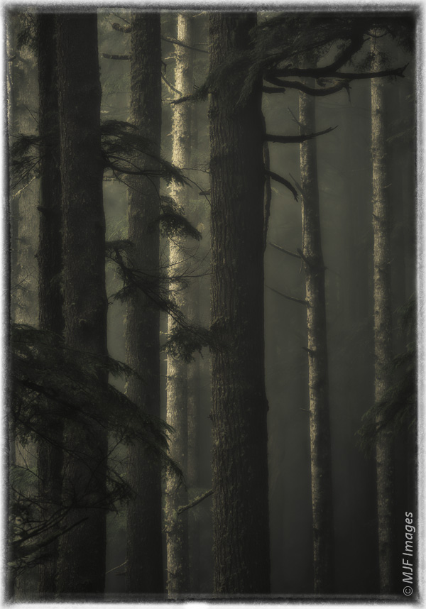 Dusk gathers in the foggy forest of the Olympic National Park, Washington.