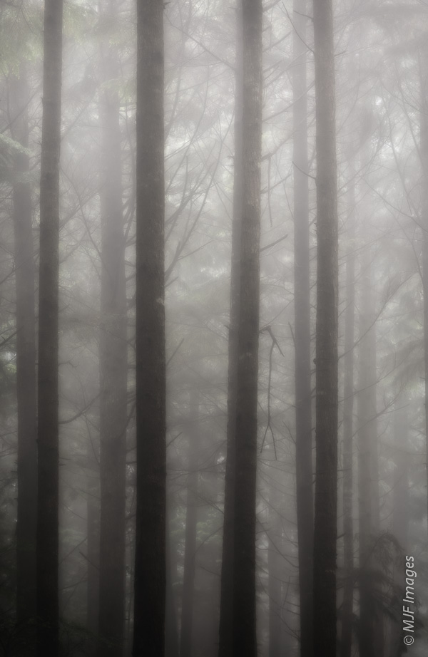Inside the dense rain forest of the Olympic Peninsula, Washington on one of the many misty days.