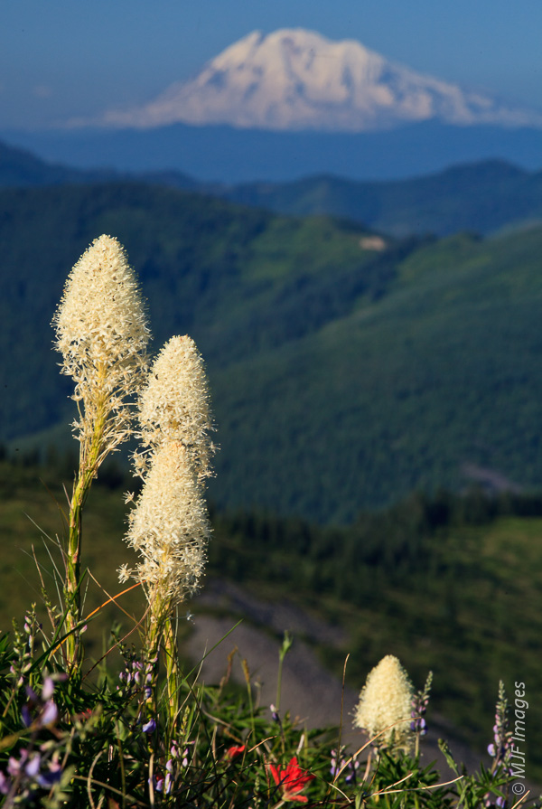 Blooming beargrass on Silver Star Mountain in Washington, with Mt Adams in the background.  At this focal length (165 mm.), no chance for sharpness in both fore- and back-ground.    But I still shot at f/22 so the mountain wasn't too out of focus.