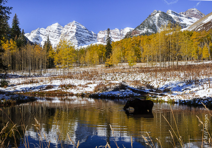 Mama moose takes a drink with the Maroon Bells in the background.