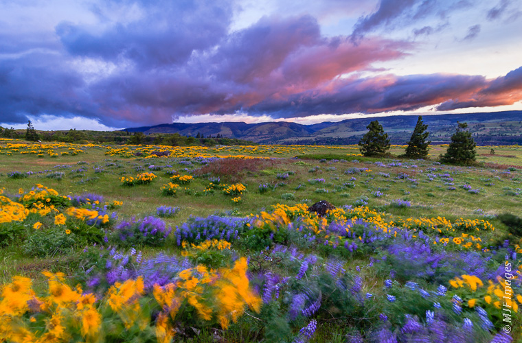 Spring flowers in the Columbia River Gorge, Oregon.  There is a reason that the Gorge is a mecca for wind-surfers.