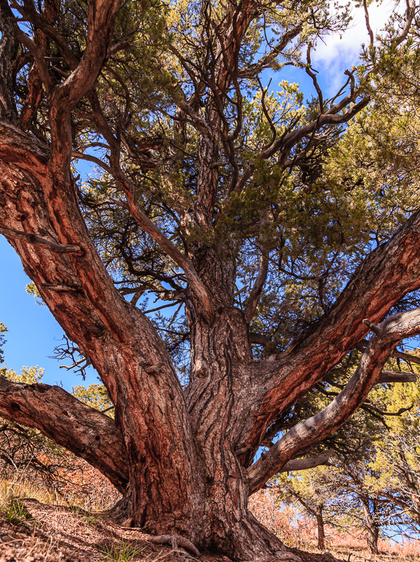 This portrait of an ancient pinyon pine in Black Canyon of the Gunnison N.P., Colorado was shot at 24 mm. to let me get close into the shade of the tree and yet show most of its form.