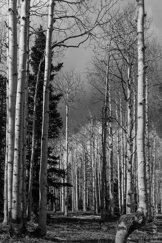 Aspens take on a very different look after they lose their leaves in late autumn.