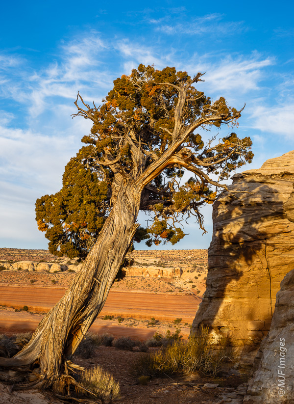 This juniper tree appears to lean against a sandstone monolith at Bartlett Wash, Utah.
