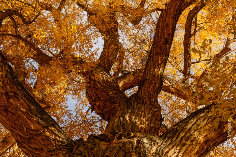 A cottonwood tree along Kane Creek Wash near Moab, Utah was an irresistible attraction.