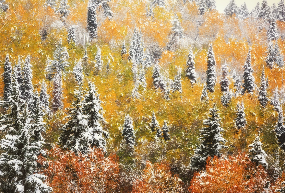 Snow-dusted aspens & spruce of the Colorado Rockies.  Click on image for more info.