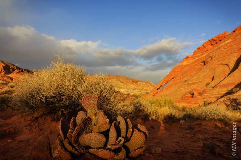 Beavertail cactus catches the late afternoon light at Valley of Fire Park near Las Vegas, Nevada.