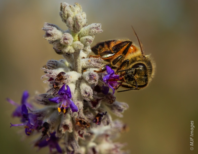 Winter-blooming plants bring pollinators in the desert of Anza Borrego State Park, California.
