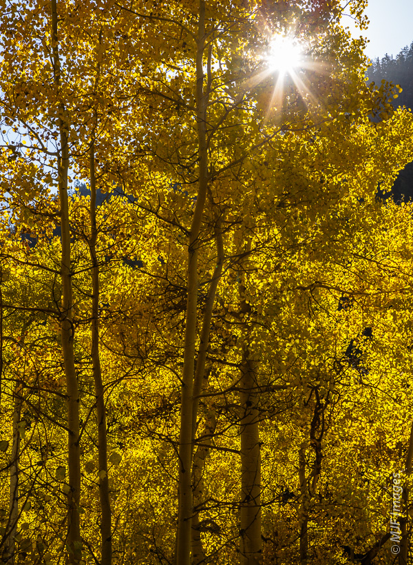 Sunlight through aspen trees in leaf is one of my favorite things in the world.