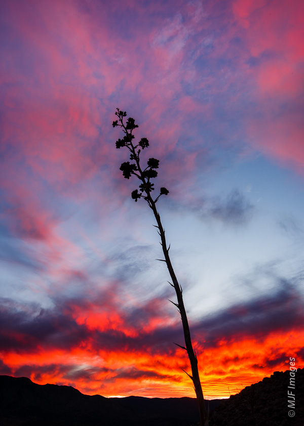 A yucca at sunset, Anza Borrego State Park, California.