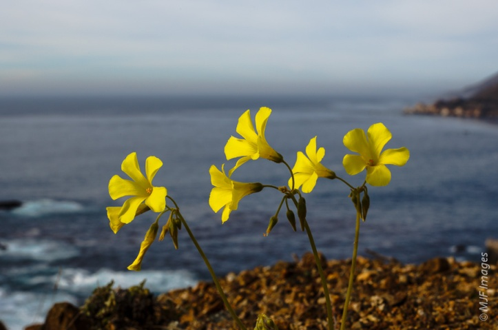 A rare sight in winter, I found these little flowers happily blooming right at the edge of a sea-cliff.