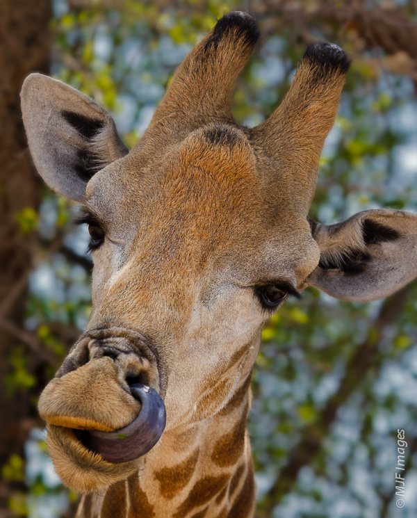 Anyone who has spent a lot of time in deserts knows about the annoyingly dry thing that happens inside your nose.  This giraffe in the Kalahari has the solution!