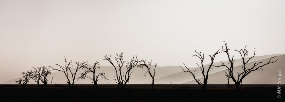 The standing snags of camel thorn trees trace a dry watercourse in Namibia.  the mountain-sized dunes of the Namib Desert lie in the background.