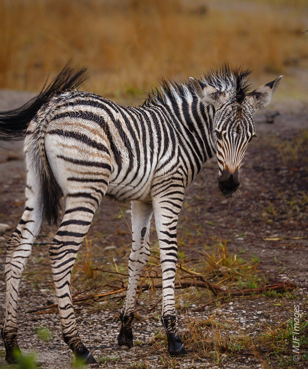 During their incredible migration into the Makgadikgadi Pans of Botswana, a zebra mom uses her tail brushes insects away from her foal.