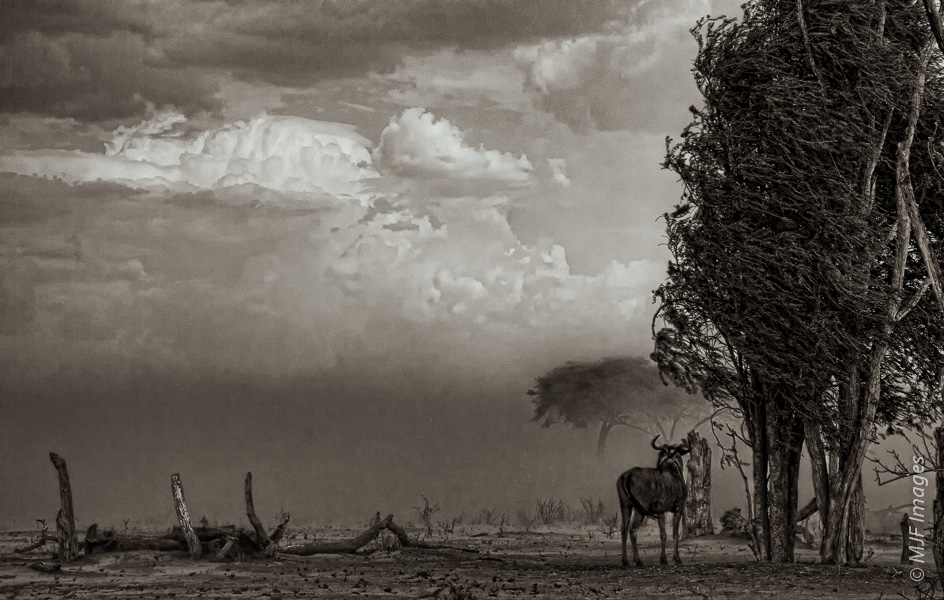 A lone wildebeest stands watching the wet season's first storm sweep into the Mbabe Depression of Botswana.  No rain came at first, only wind and incredible dust.  A moment after I shot this, the wildebeest ran for shelter.