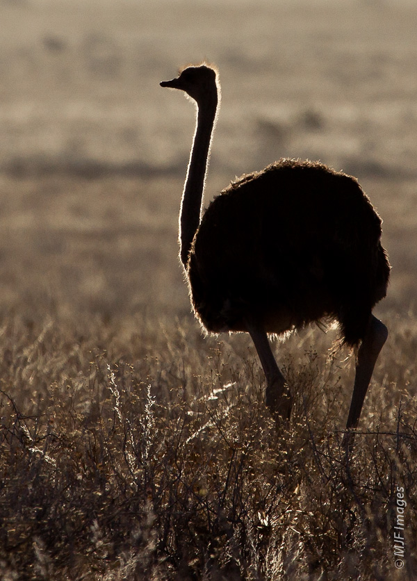 Ostriches seemed to be most abundant in the dry grasslands of Namibia.
