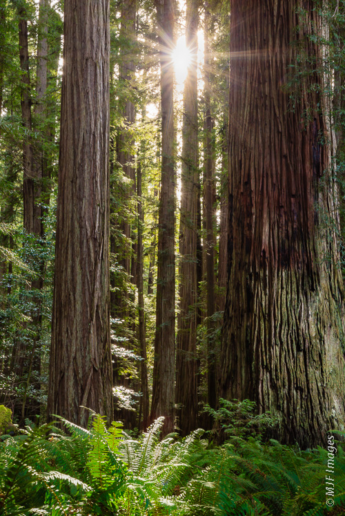 The ferns and big trees give this image a strong sense of place, and many viewers would recognize the trees as redwoods, greatly narrowing  things down.