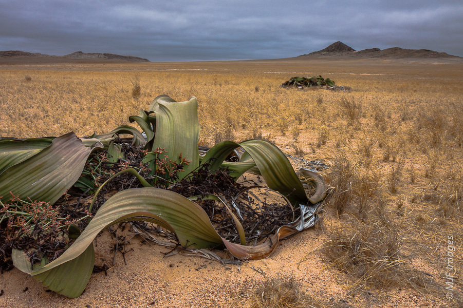 Plants adapted to dry conditions normally grow very slowly, but it's hard to beat the ancient Welwitschia of Namibia.  Some are well over 2000 years old.